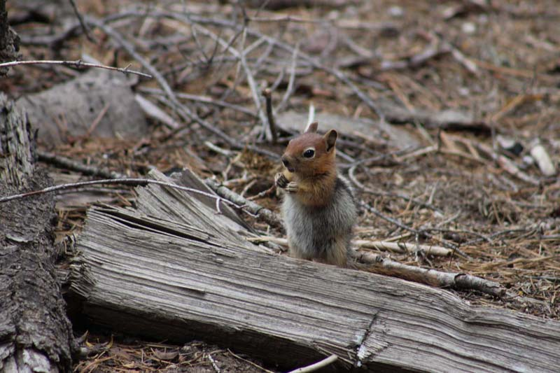 chipmunk on two legs