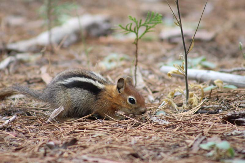 foraging chipmunk