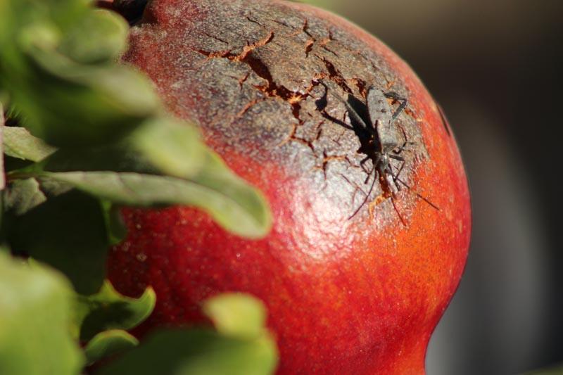 A bug on a pomegranate