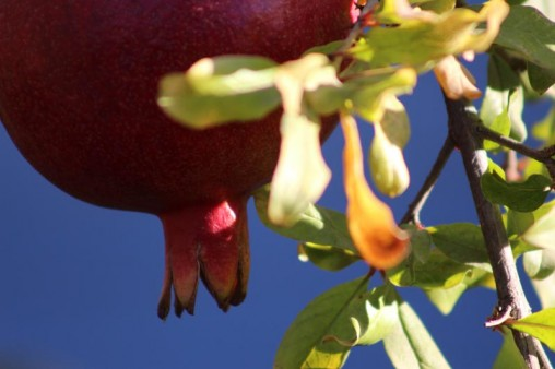 The bottom part of a pomegranate