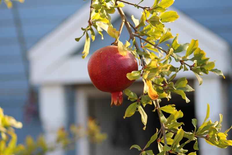 Pomegranate with a cottage in the background