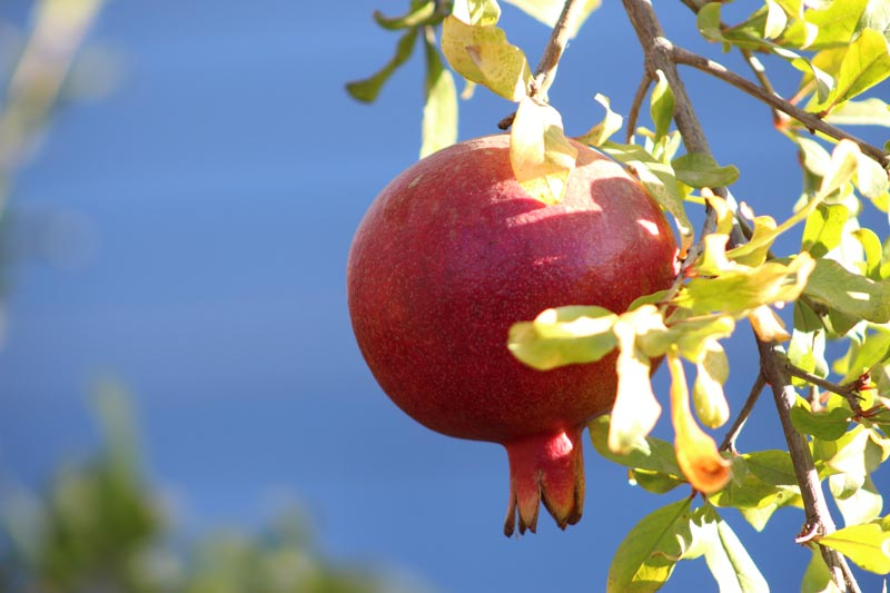 pomegranate ready for picking