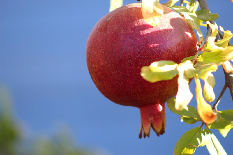 A Pomegranate up close